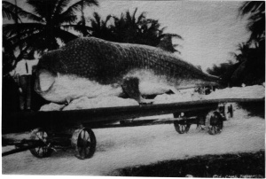 This Whale Shark was dragged all over on ice  caught by a guy in Florida in the olden days of American angling. He sold tickets to view its carcass!