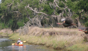 Osceola Turkeys Spooked in Florida, take flight and I was holding my camera as they came across the river at 35-miles per hour!