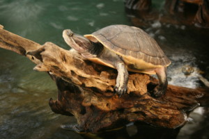 My pond loves it's turtles! G-D's gift to earth!