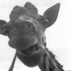 "A friendly 18-foot guy visited my window during a drive through Kenya. I offered some chews and he said thanks with me taking this picture on my ""Brownie"" 126 camera."